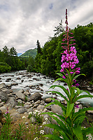 Fireweed reaches its full bloom, indicating Alaska's summer ending as the Little Susitna River flows from the Talkeetna Mountains.