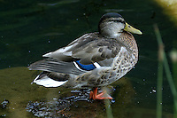 Adult female mallard in non-beeding plumage