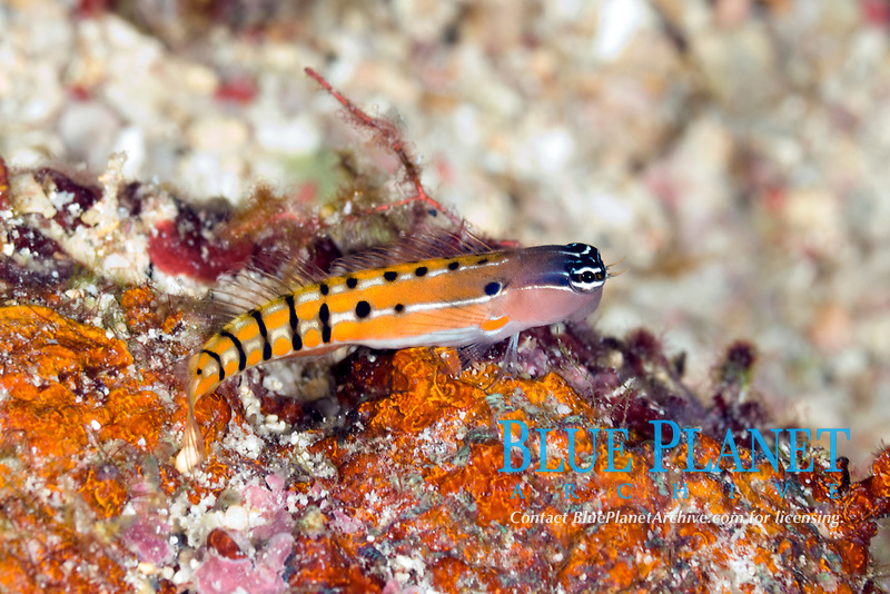 Clown blenny, Ecsenius axelrodi, Mary Island, Solomon Islands, Pacific Ocean