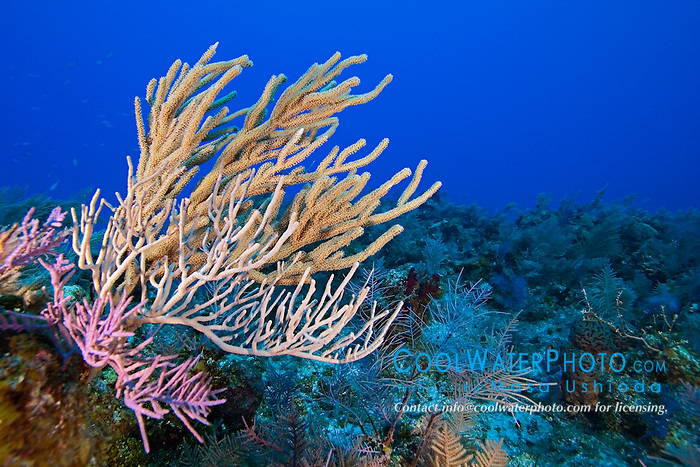 Sea Rods and Sea Plumes Gorgonians, coral reef, West End, Grand Bahamas, Atlantic Ocean