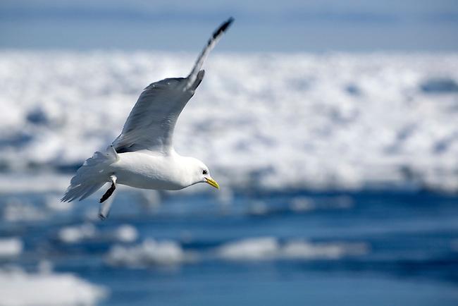 Kittiwake flies slowly over breaking up sea ice looking for food. Svalbard
