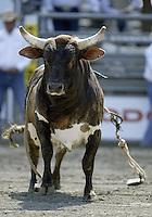 PRCA Rodeo Bulls