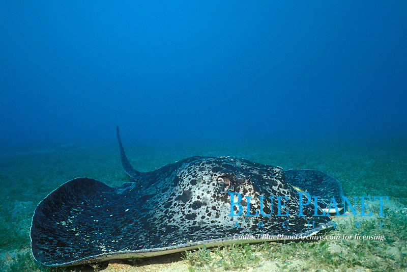 marbled, blotched, black-spotted or round ribbontail ray, Taeniura meyeni (meyeni), on sand flat next to wreck of the Yongala, Queensland, Australia (Western Pacific Ocean)