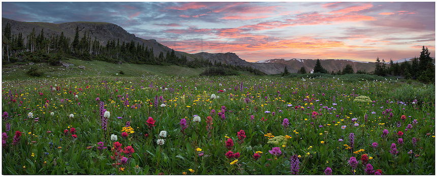 This Colorado wildflower landscape was captured at Butler Gulch. The ridge in the distance is the Continetnal Divide. Colorful wildflowers such as pink elephants, paintbrush, and alpine daisies fill the meadow in late July and August. The trailhead for this location is near Empire along Highway 40 just before the first switchback that leads over Berthoud Pass to Winter Park. The trail itself is straightforward - climbing about 1000 feet in a little over two miles. You can continue pas this point to an old mine if you are so inclinded. While I usually make this hike several times each summer, I usually get bogged down at his specific location, taken by the beauty of these wildflowers.