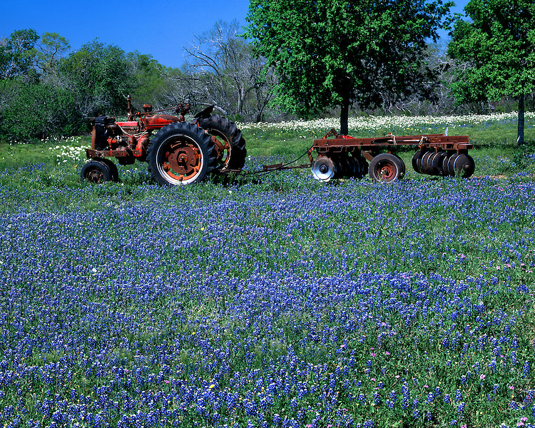 Tractor and field of Texas Bluebonnets on a farm in Karnes County; TX