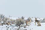 Coyote (Canis latrans) pack in territorial howl in winter, Lamar Valley, Yellowstone National Park, Wyoming