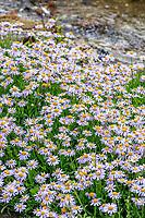 France, Hautes-Alpes (05), Villar-d'Arène, jardin alpin du Lautaret, aster foliacé, Aster foliaceus var. apricus