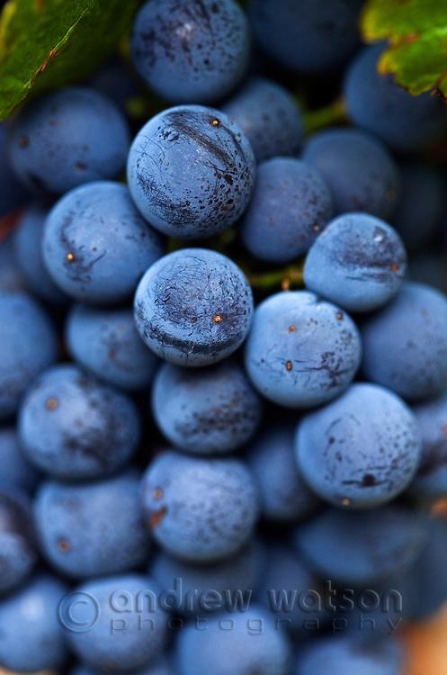 Shiraz grapes on the vine.  Margaret River, Western Australia, AUSTRALIA.