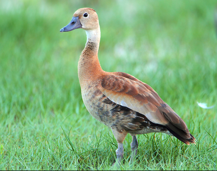 Juvenile black-bellied whistling duck
