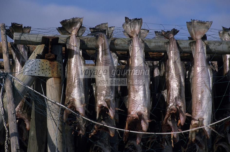 Europe/Norvège/Iles Lofoten : Pêche au skrei-cabillaud - sur le Stottvaring - Séchoir à morue