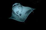 Manta Ray filter feeding in Maldives