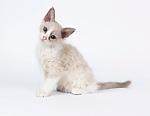 LaPerm - Kitten, 11 weeks old, Lilac Darker Points & White