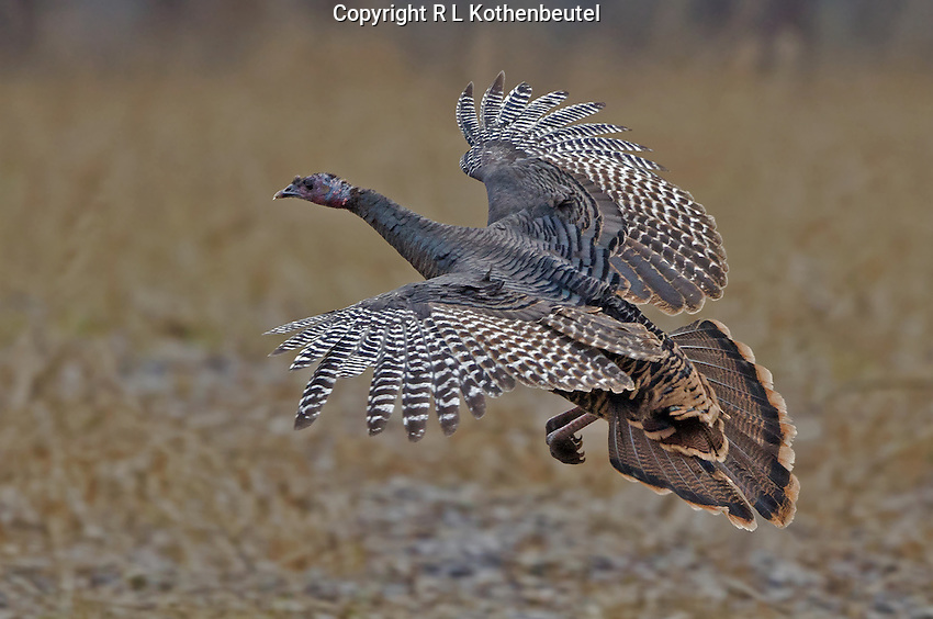 Wild turkey hen flying down from its tree top perch and landing in an open field.<br /> Near Twisp, Washington State<br /> 11/10/2012