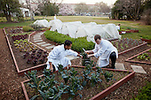 Chefs Kevin Saiyasak and Jeremy Kapper harvest winter greens from the Kitchen Garden on the South Lawn of the White House, March 13, 2012. Baby kale and varietals of greens from the garden will be used in the meal served at the State Dinner in honor of Prime Minister David Cameron and Mrs. Samantha Cameron. .Mandatory Credit: Chuck Kennedy - White House via CNP