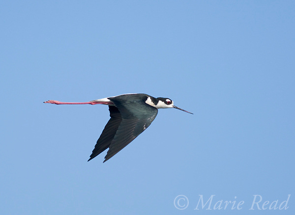Black-necked Stilt (Himantopus mexicanus) in flight, Bolsa Chica Ecological Reserve, California, USA