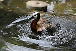 White-faced whistling duck bathing