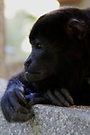 Central America, Costa Rica, Tamarindo. Howler Monkey deep in thought.