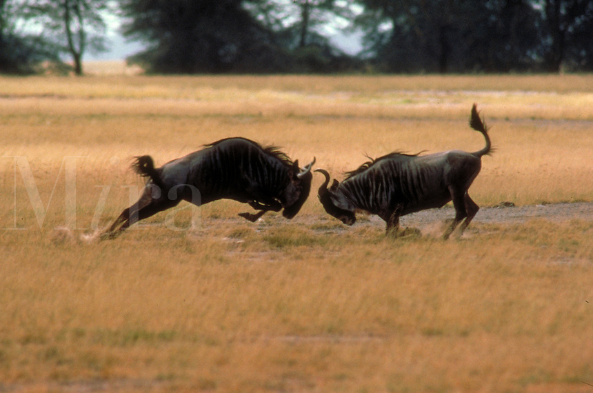 Two male wildebeests (gnus) fighting for dominance on plains (savannah) of Kenya, Africa.