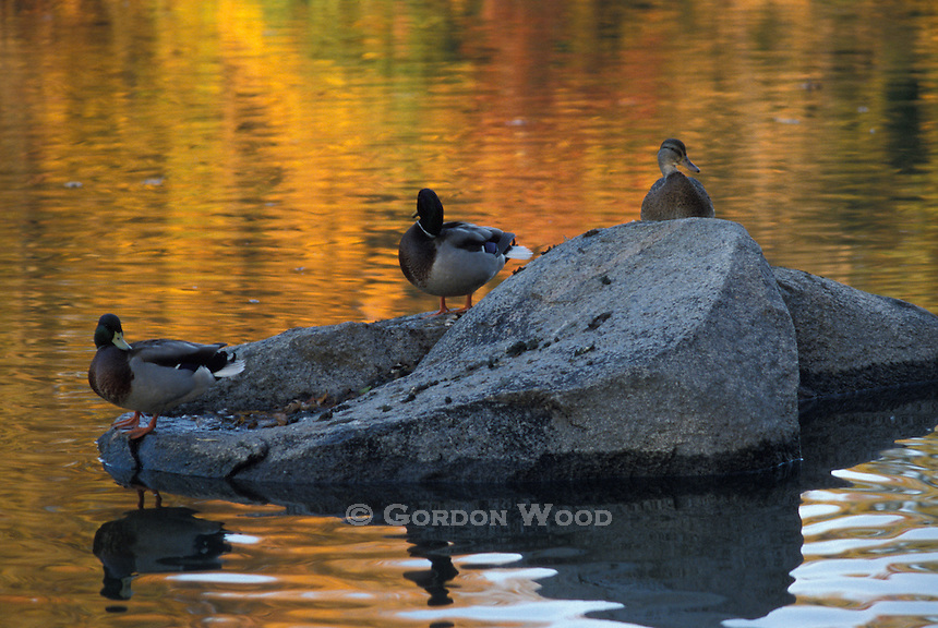 Mallard Drakes and Hen on Rock in River