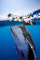 humpback whale, Megaptera novaeangliae, spyhopping, Hawaii, USA, Pacific Ocean