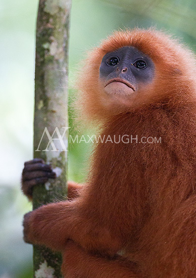 I saw several red leaf monkeys in Borneo.