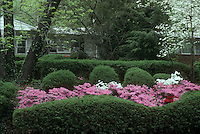 Azaleas pink, white and red mixed colors flowering in wave of evergreen yew shrubs under dogwood Cornus florida twhite ree in spring shade in front of house for curb appeal