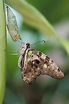 Tailed Jay Butterfly, Graphium agamemnon, adult drying wings hanging on pupa chrysalis, hatching.Malaysia....