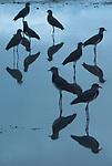 Queltehues / Clayton, Panamá.<br /> <br /> Vanellus chilensis.<br /> <br /> Edición de 10 | Víctor Santamaría.