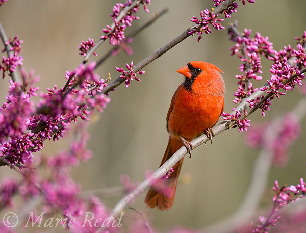 Northern Cardinal (Cardinalis cardinalis) male perched in flowering eastern redbud, New York, USA. Cropped from original.