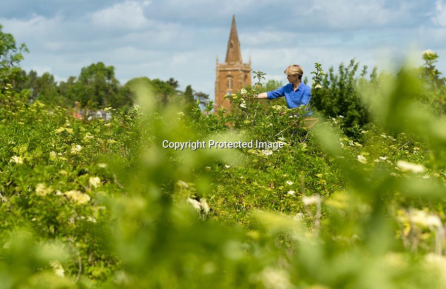 04/05/17<br /> <br /> Belvoir elderflower harvest.<br /> <br /> All Rights Reserved, F Stop Press Ltd +44 (0)7765 242650 www.fstoppress.com rod@fstoppress.com