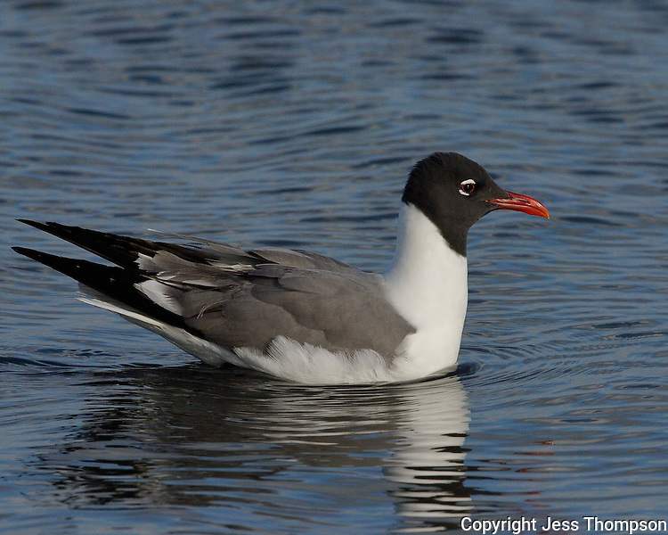 Laughing Gull, South Padre Island, TX