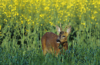 Europäisches Reh, Rehwild, Reh-Wild, Bock, Männchen im Rapsfeld, Capreolus capreolus, roe deer