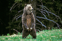 Grizzly bear (Ursus arctos), Northern Rockies
