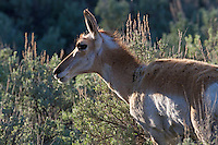 A pronghorn (Antilocapra americana) can run exceptionally fast, being built for maximum predator evasion through running, and is generally accepted to be the fastest land mammal in the Western Hemisphere. The top speed is very hard to measure accurately and varies between individuals; but pronghorn have been clocked at over 60 miles per hour. It is often cited as the second-fastest land animal in the world, second only to the cheetah.It can, however, sustain high speeds longer than cheetahs.