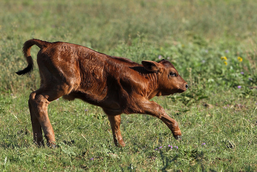 Red Angus calve in spring, Central Texas Hill Country.