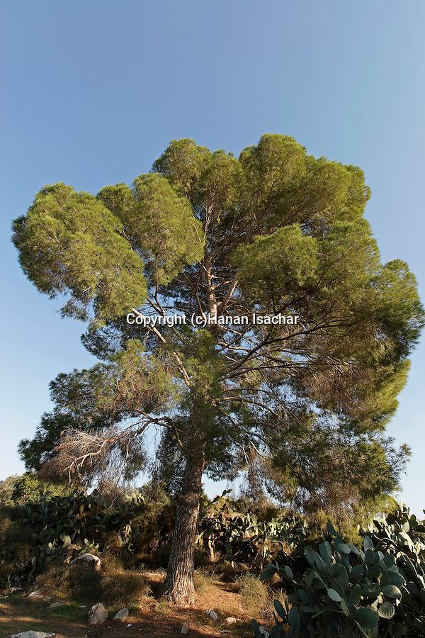 Israel, Jezreel Valley. Aleppo Pine tree in Sarid