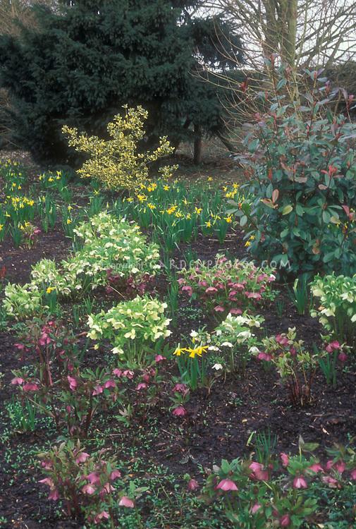 helleborus collection in garden use