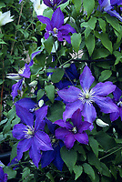 Clematis 'Rhapsody'  F. Watkinson (Patens Group Clematis), sapphire blue flowering vine with yellow stamens