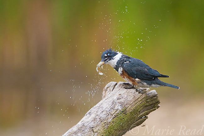 Belted Kingfisher (Ceryle alcyon) adult female, water droplets fly while the bird processes fish by striking it against perch, Lansing, New York, USA