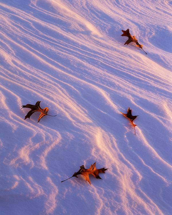 Sunset light on oak leaves on a snow drift; Kickapoo State Park, IL