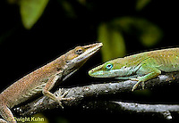 1R06-015z   Green Anole - meeting another anole - Anolis carolinensis