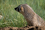 badger, (Taxidea taxus), summer, Rocky Mountain National Park, Colorado, USA, wildlife, carnivore