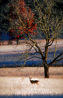A White-tailed deer (buck.).