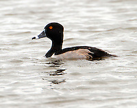 Adult male ring-necked duck in breeding plumage