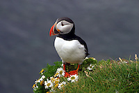 A puffin posses on a tuft of daisies high on a cliff above the ocean in Iceland