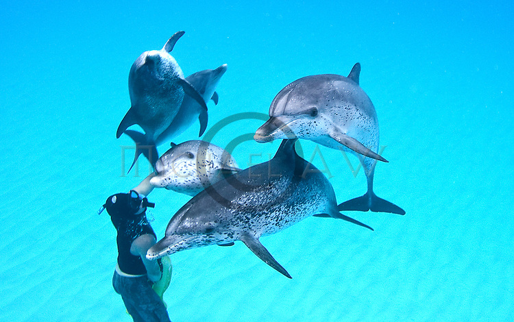 Atlantic spotted dolphins, swim with wild dolphins, Bahamas, The Atlantic Spotted Dolphin (Stenella frontalis) is a dolphin found in the Gulf Stream of the North Atlantic Ocean