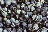 Gemeine Miesmuschel, Muschelbank, Mytilus edulis, bay mussel, common mussel, common blue mussel