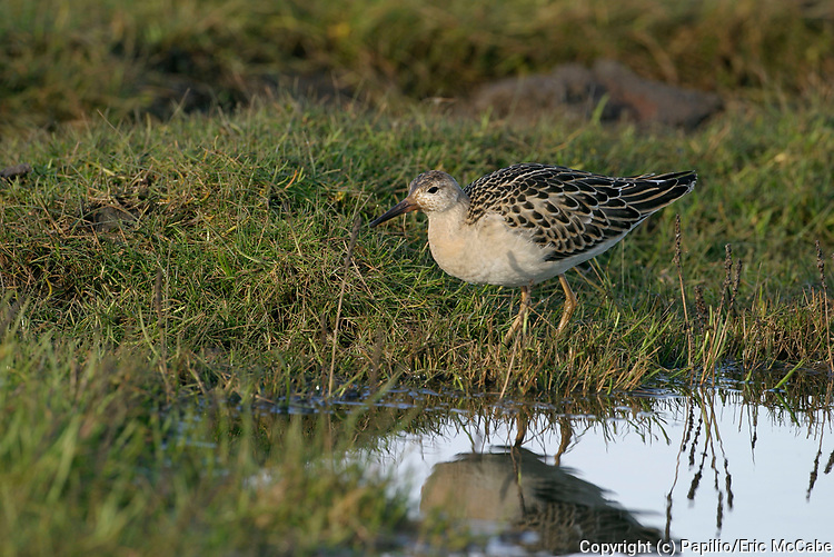 Ruff, Philomachus pugnax, At Eden Estuary, Fife migrates, shorebird. 14/10/2004.