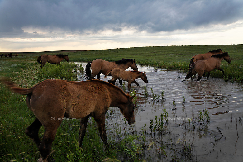 Mustangs cross a full stream in a South Dakota field after a summer thunderstorm passes.  The lead mare determines their path. This herd is called the Gila herd, and tied by DNA to the Spanish Conquistadors.