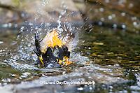01611-08819 Baltimore Oriole (Icterus galbula) male bathing Marion Co., IL